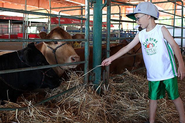 Cows at Fair
