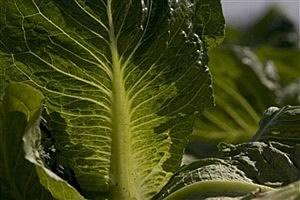 Lettuce Leasf