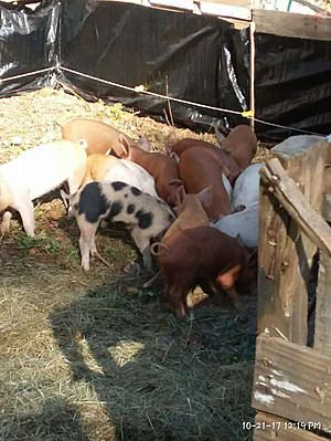 little piggies resized